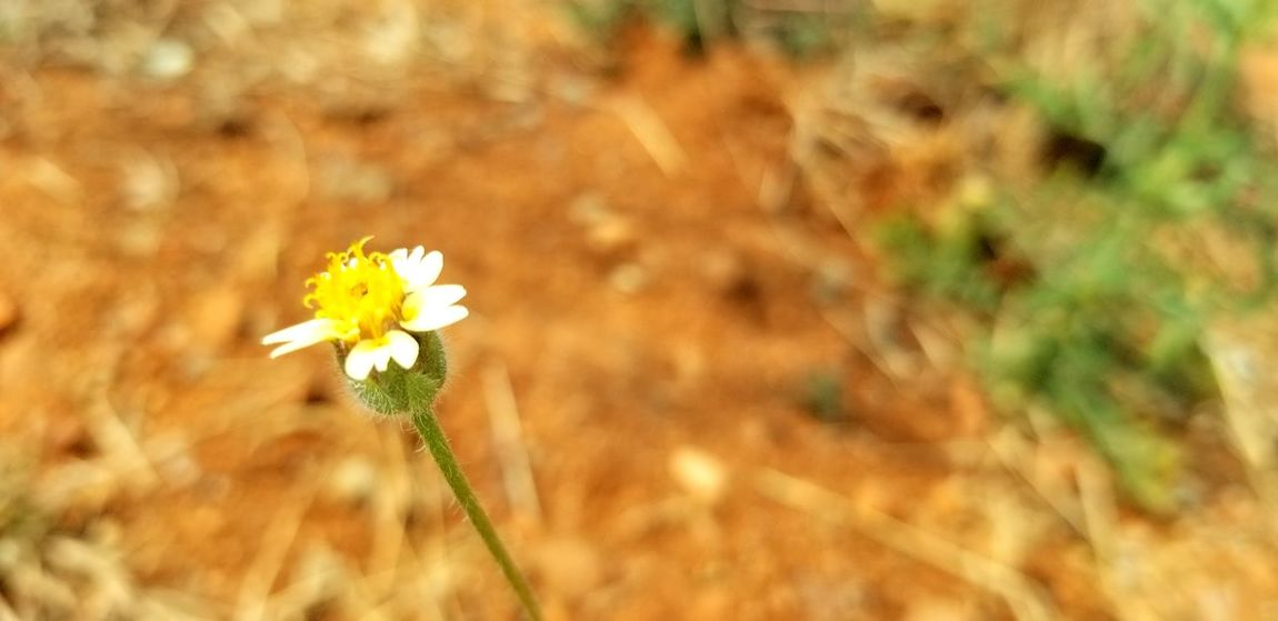 Blurred Background Flower Head Flower Rural Scene Yellow Summer Springtime Agriculture Uncultivated Close-up Plant Wildflower In Bloom Blooming Petal Single Flower Flowering Plant Blossom Plant Life Pollen Stamen