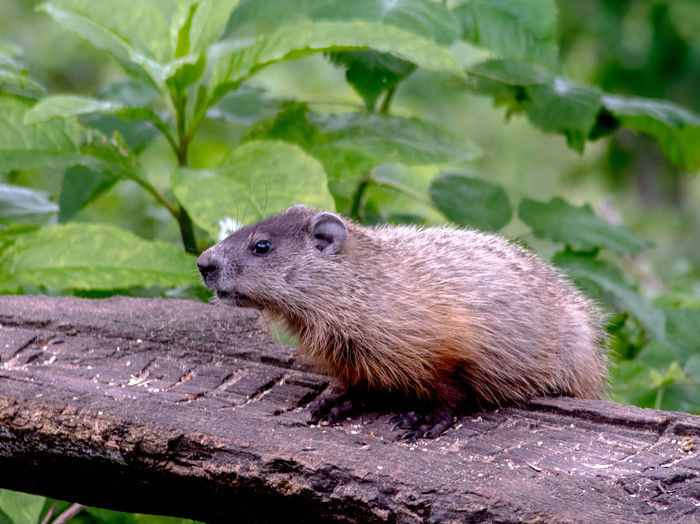 A young woodchuck standing on a log, is alerted by a noise close by in his michigan home