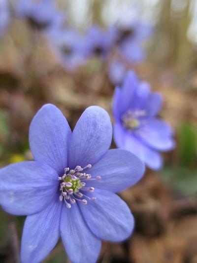 Västanå Nature Reserve Blue Anemone Close-up Nature Spring Flowers Outdoors Walking