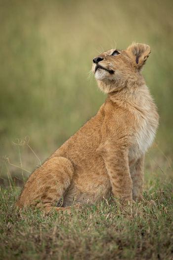 Lion cub sitting on grassy field