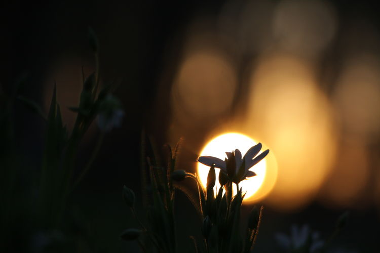On Light Silhouette Night Nature Sunset Flower Outdoors Beauty In Nature Plant Flower Head No Filter Evening Lithuania