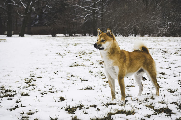 Dog on snow field against trees during winter