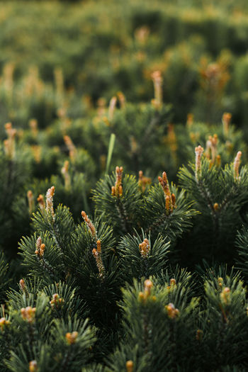 Beauty In Nature Botany Close-up Coniferous Tree Day Field Fir Tree Focus On Foreground Green Color Growth Land Nature Needle - Plant Part No People Outdoors Pattern Pinaceae Pine Tree Plant Selective Focus Spiky Tranquility Tree
