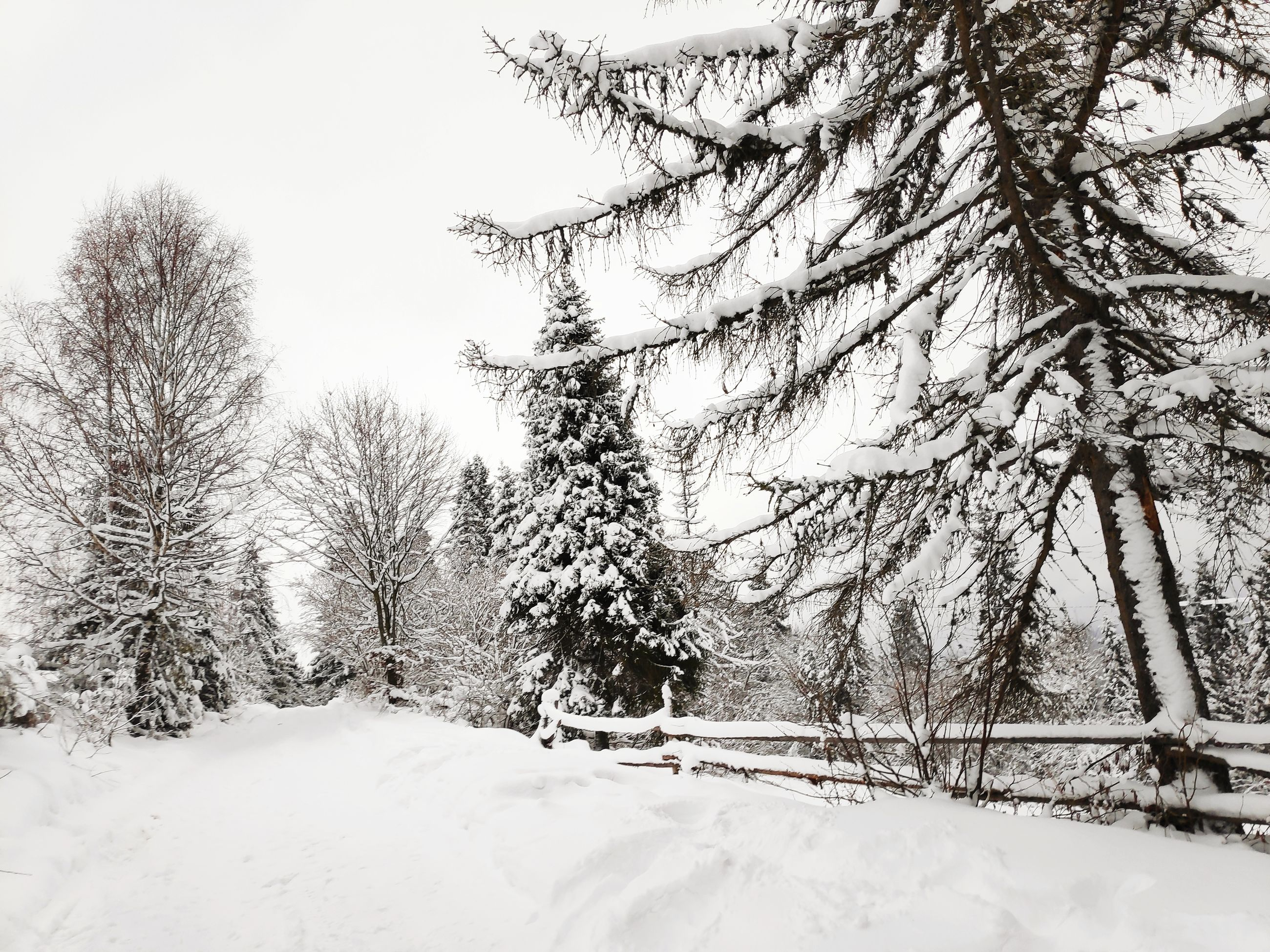 snow, cold temperature, tree, winter, plant, beauty in nature, tranquility, covering, nature, land, no people, branch, white color, tranquil scene, scenics - nature, day, environment, bare tree, frozen, outdoors, snowing, coniferous tree