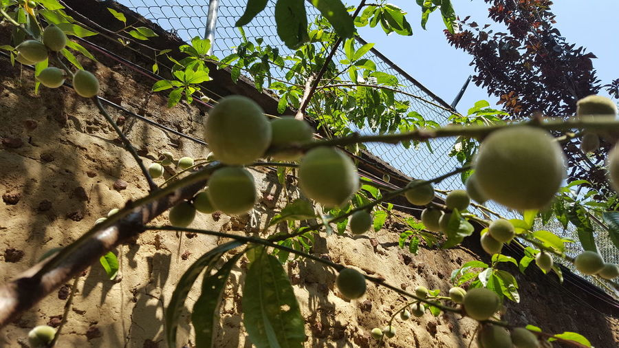 Peachtree Peach Garden Fruits Organic