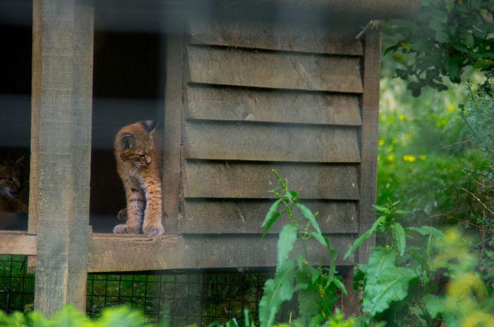 The Highland Wildlife Park on a rainy day. Rain Scotland Animal Themes Cub Day Feline Highland Wildlife Park Kitten Lynx No People One Animal Outdoors Scottish Highlands Wildlife