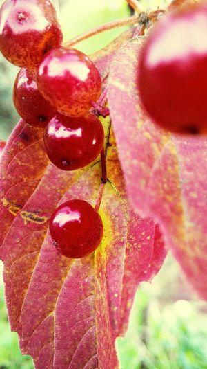 Калина красная Macro Природа Nature No People Colors осень Bright калина красная ягода