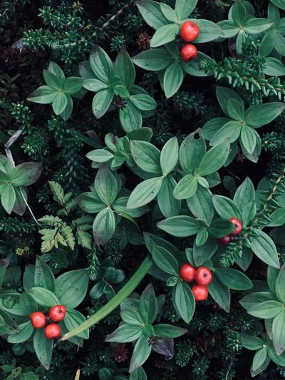 Food And Drink Food Fruit Plant Part Leaf Freshness Healthy Eating Beauty In Nature No People Berry Fruit Green Color Day Nature Plant Outdoors Growth Tree Cranberry Wellbeing Red