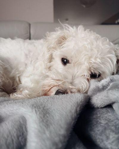 Lazy days Weechon Animal Themes Cute Pets Pet Dog Cute Animal Hair Portrait Close-up Mixed-breed Dog