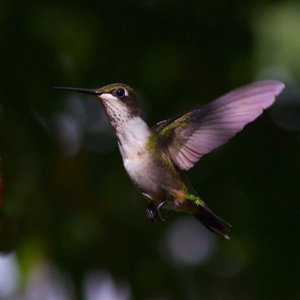 Animal Animal Themes Animal Wildlife Animals In The Wild Bird Blurred Motion Close-up Day Flapping Flying Focus On Foreground Full Length Hummingbird Mid-air Motion Nature No People One Animal Outdoors Spread Wings Vertebrate