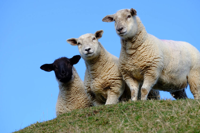 Animal Themes Blue Clear Sky Countryside Cute Day Domestic Animals Farm Field Hill Ireland Lamb Livestock Low Angle View Mammal Nature No People Northern Ireland Outdoors Sheep Sky Three Animals Togetherness Travel
