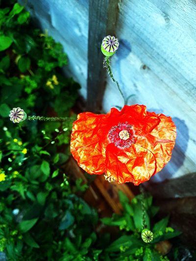Poppy Flower Nightshot Photoediting Beauty In Nature Wildflower
