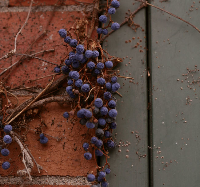 VIRGINIA CREEPER VINE Brick Wall Background Close-up Fruit Nature Purple Rusty Vine - Plant Vines On Wall