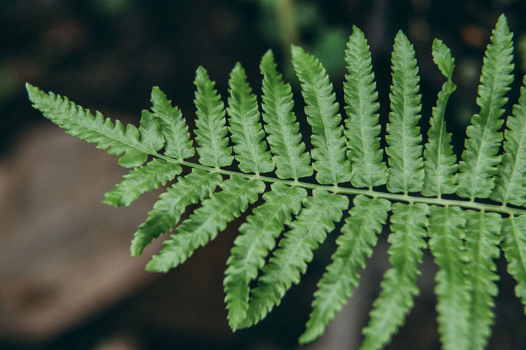 fresh fern leaf close up blurry background Beauty In Nature Blurry Background Close Up Close-up Dampish Day Fern Fern Leaf Focus On Foreground Fragility Freshness Green Color Growth Gurdeep Leaf Natural Pattern Nature No People Outdoors Pattern Plant Plant Part Selective Focus Vulnerability