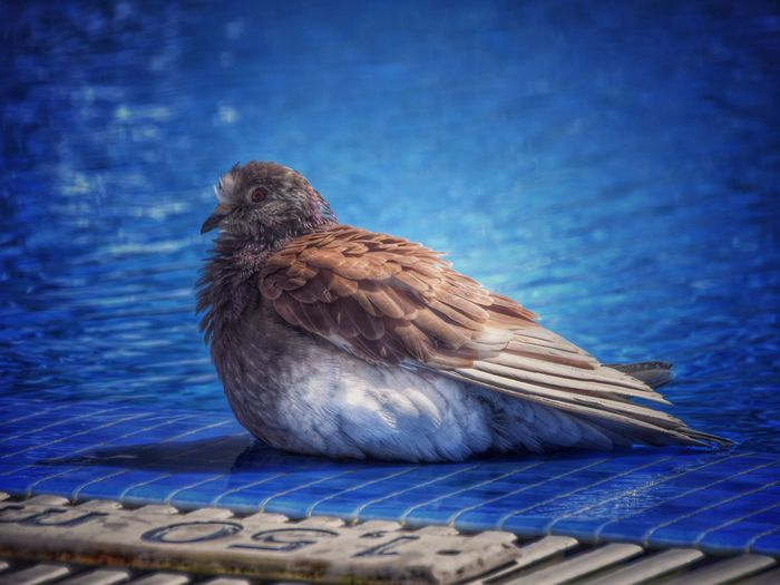 Close-up of brown dove perching on blue tiled floor
