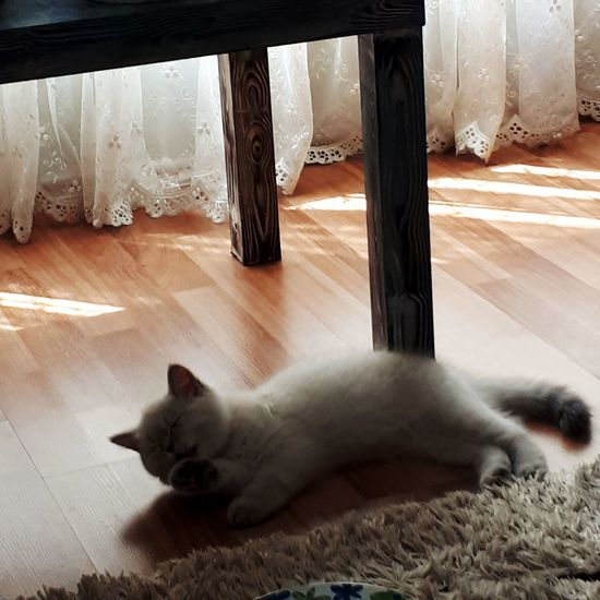 Cat resting on hardwood floor