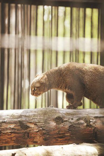 Jaguarundi on tree in zoo