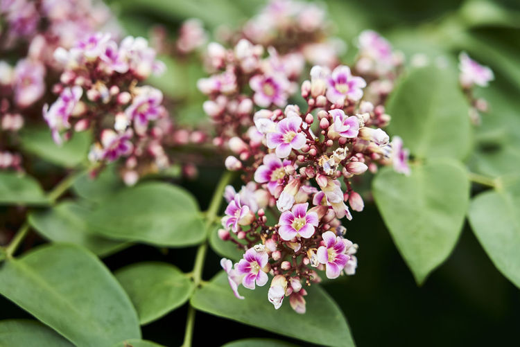 Averrhoa Averrhoa Carambola AverrhoaCarambola Averrhoabilimbi Beauty In Nature Blooming Close-up Day Flower Flower Head Focus On Foreground Fragility Freshness Growth Leaf Lilac Nature No People Outdoors Petal Pink Color Plant 楊桃 楊桃花 洋桃