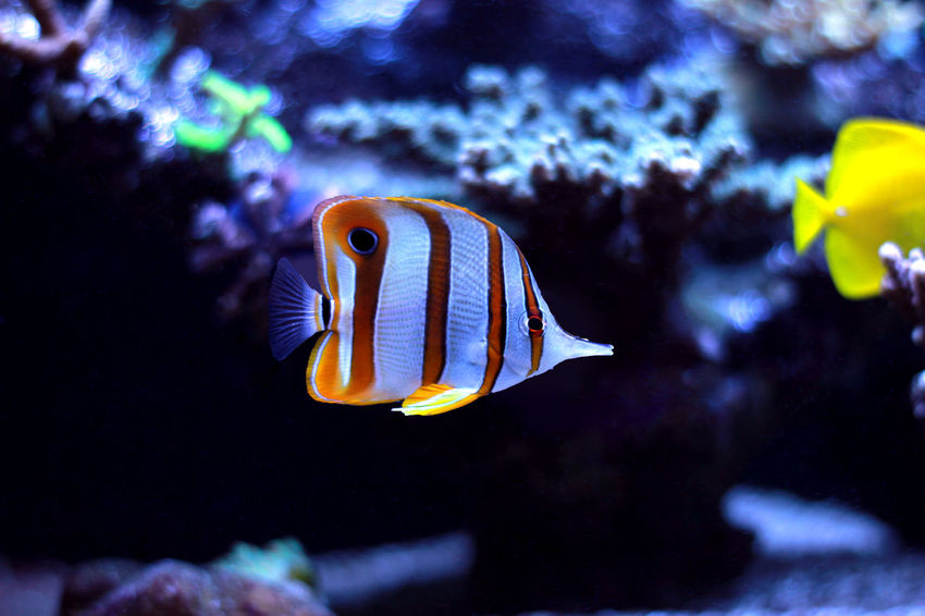 Animal Themes Animal Wildlife Animals In The Wild Aquarium Beauty In Nature Close-up Clown Fish Day Fish Indoors  Nature No People One Animal Sea Sea Anemone Sea Life Swimming UnderSea Underwater Water Yellow Copperband Butterflyfish Copper-banded Butterflyfish Butterflyfish Aquarium Fish