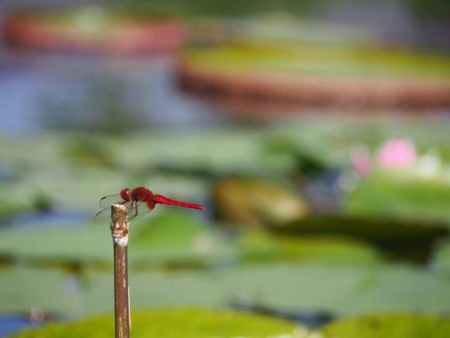 見つめる先は… ショウジョウトンボ トンボ Dragonfly Insect Collection My Point Of View EyeEm Nature Lover EyeEm Best Shots EyeEm Gallery Eyemphotography EyeEm Best Shots - Nature 好きな場所