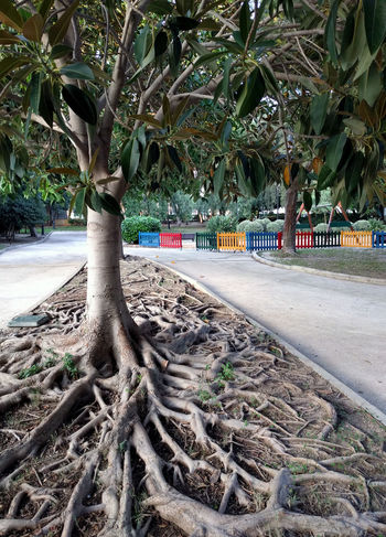 Ficus Tree roots. Aguadulce park. Province of Almeria. Spain Almería Almería Spain Ficus Benjamina Ficus Tree Matting Roquetas De Mar SPAIN Tree Aguadulce Botanic Ficus Garden Growth Nature No People Nobody Outdoors Park Park - Man Made Space Roots Of Tree Stem Tangle Tree Tree Trunk Weeping Fig