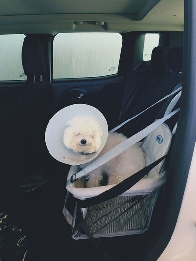 Dog Wearing Protective Collar In Van