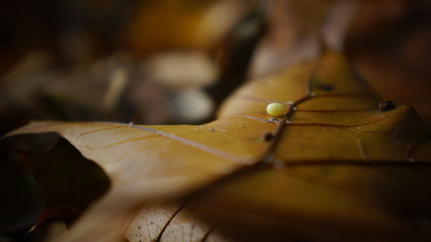 Mysterious speck Autumn Beauty In Nature Change Close-up Day Dry Fragility Leaf Leaves Macro Macro Photography Maple Maple Leaf Nature Nature No People Outdoors Speck Sphere Tiny