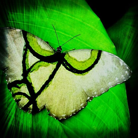 Insect Green Color Leaf Animals In The Wild One Animal Animal Themes Animal Wildlife Butterfly - Insect Close-up No People Full Length Night Outdoors Nature