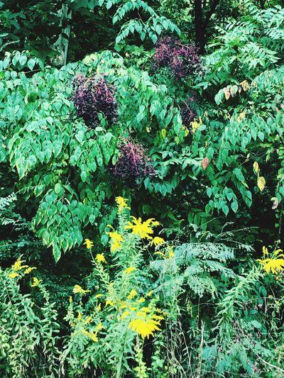 Elderberry Blossoms Elderberries Wildplants Wild Herbs Herbs