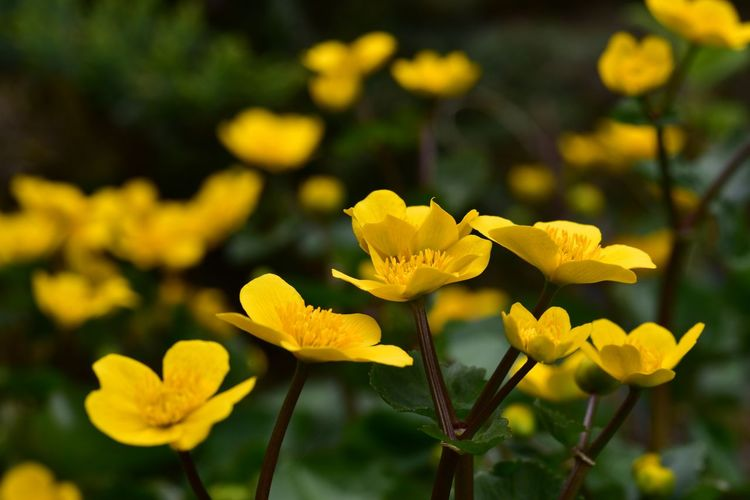 Marsh Marigold Beauty In Nature Blooming Day Flower Focus On Foreground Fragility Growth Nature Outdoors Petal Plant Sumpfdotterblume Yellow
