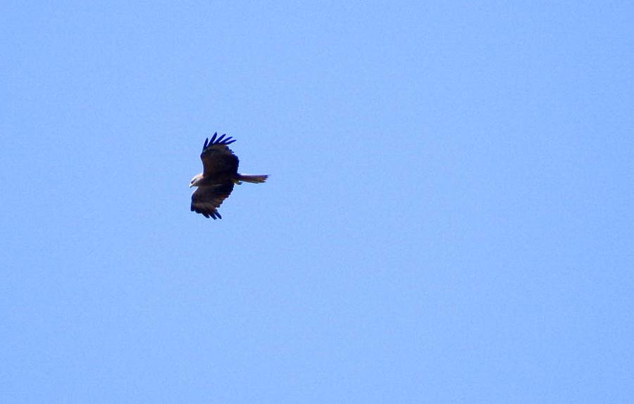 Bird Photography Spread Wings Animals In The Wild Milvus Migrans