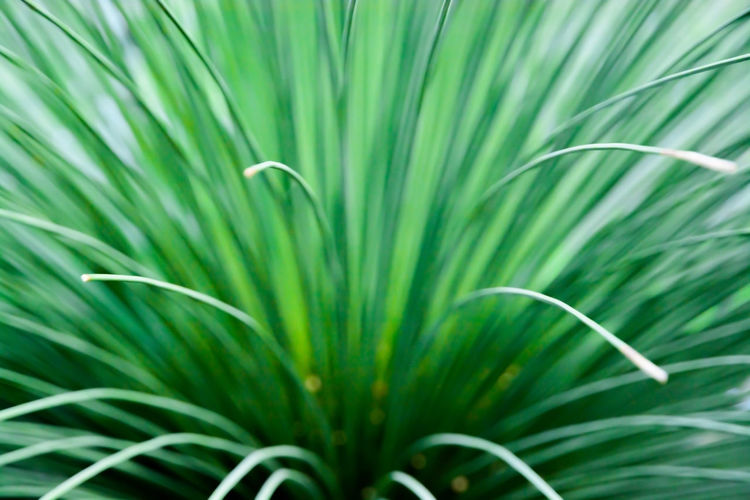 Toothless Sotol, Beargrass, dasylirion quadrangulatum, closeup abstract. Beargrass Toothless Sotol Abstract Beauty In Nature Close-up Closeup Dasylirion Quadrangulatum Day Freshness Frond Grass Green Color Growth Leaf Nature No People Outdoors Palm Tree Plant