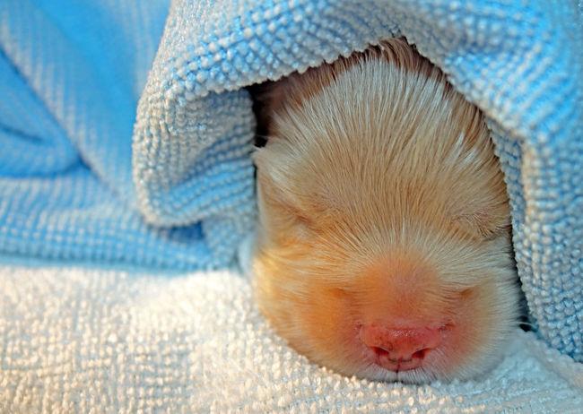 Snow? Animal Body Part Animal Head  Blue Close-up Cute Puppy EyeEm Best Shots Focus On Foreground Newborn Newborn Photo Newborn Puppy  Part Of Pet Dog  Pets Puppy Puppy Face Puppy Love Puppy Photoshoot Relaxation Resting Selective Focus Softness The Week On EyeEm Towel Animal