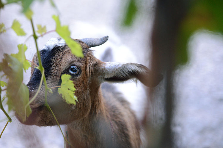 animal Animal Animal Body Part Animal Eye Animal Head  Animal Themes Animal Wildlife Day Deer Domestic Domestic Animals Focus On Foreground Goat Herbivorous Livestock Looking At Camera Mammal Nature No People One Animal Outdoors Pets Portrait Vertebrate
