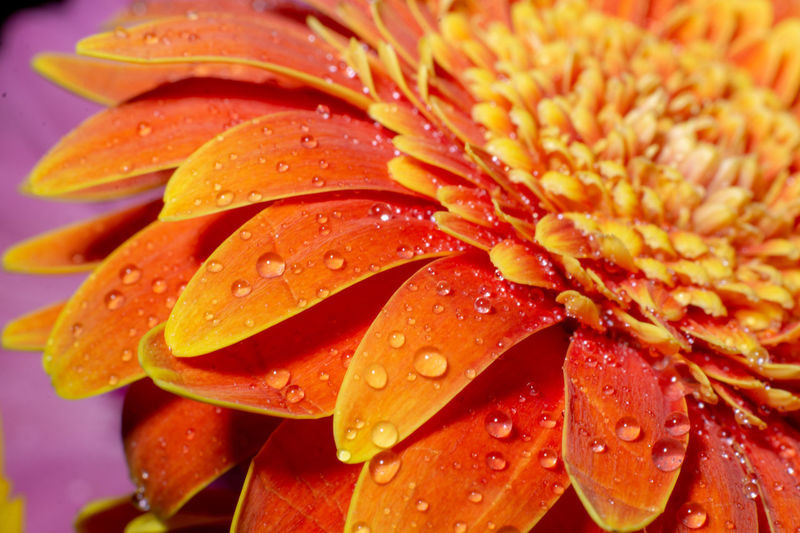 A beautiful close up of an orange Gerber daisy with water droplets. Drop Water Wet Flower Freshness Flowering Plant Close-up Plant Petal Beauty In Nature Fragility Growth Vulnerability  Flower Head Inflorescence Nature No People Orange Color Pollen Dew Orange Gerbera Daisy Daisy