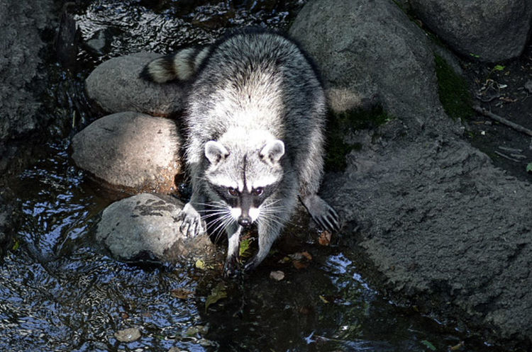 Showcase June Racoon Racoon Eyes Animal The Mix Up Fine Art Photography Color Of Life Eyemphoto