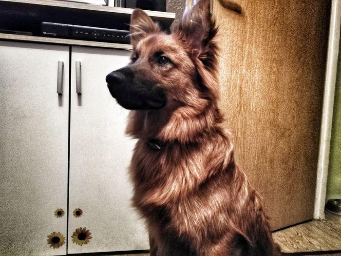 Ragnar aus Berlin Sweet♡ Fox🐺 Shepherd #Hund #HarzerFuchs #altdeutscherschäferhund, Pets Dog Domestic Animals One Animal Animal Themes Mammal No People Indoors  Close-up