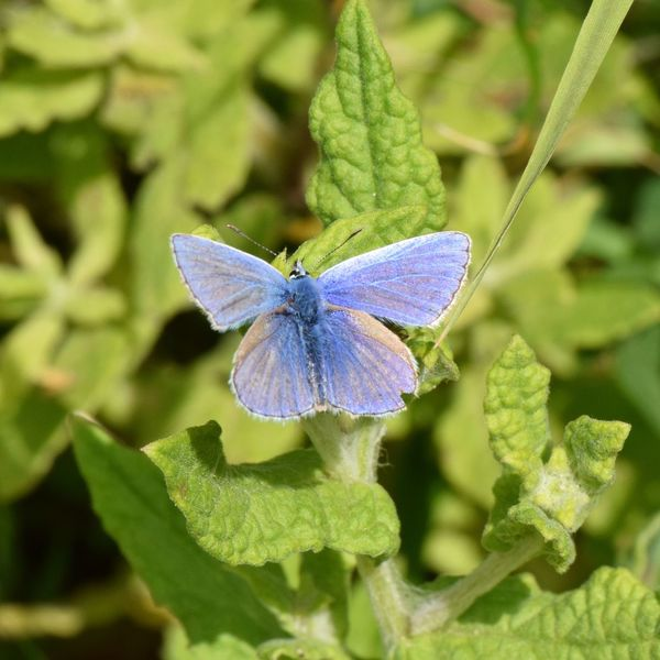 Common Blue Butterfly Insect Nature Plant Outdoors Beauty In Nature Leaf Day Close-up Spread Wings Westsussex Bush Countryside Leaves Animal Butterfly Blue Green Common Blue Butterfly RSPB Nature Reserve Pulboroughbrooks Wings