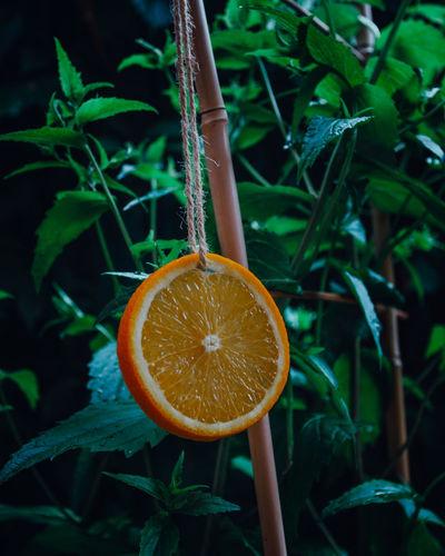 Close-up of orange fruit on plant