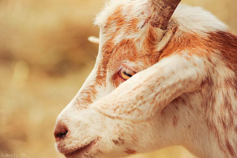 Close-up of goat against field