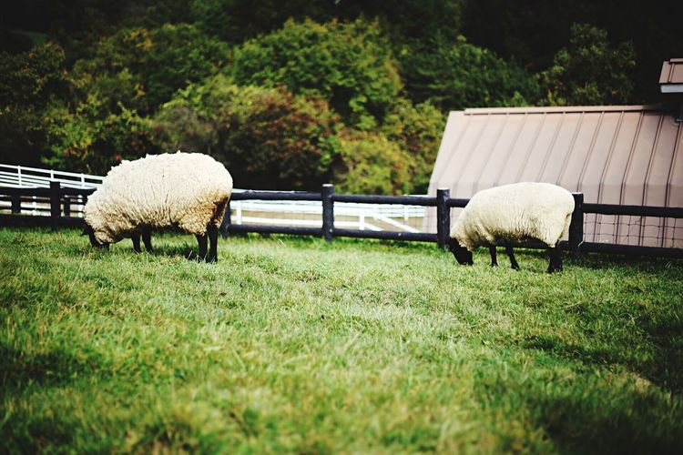 Animal Themes Domestic Animals Mammal Grass Livestock Sheep Field Green Color No People Nature Outdoors Day