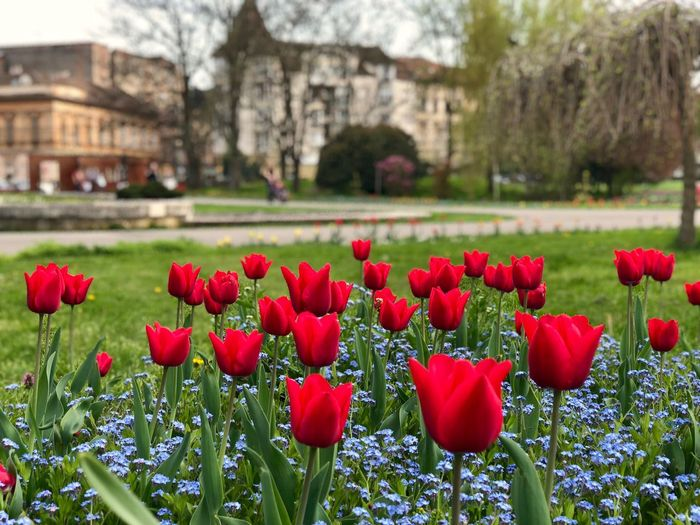 Red tulips and forget me not flowers blooming in the park Tulips Flowers Flower Head Outside Life No People Forget Me Not Flowers Floral Red Tulips Bloom Season  Spring Outdoors Day Plant Flower Flowering Plant Growth Freshness Fragility Beauty In Nature Vulnerability  Tulip Nature Petal Red Inflorescence Park Green Color Focus On Foreground