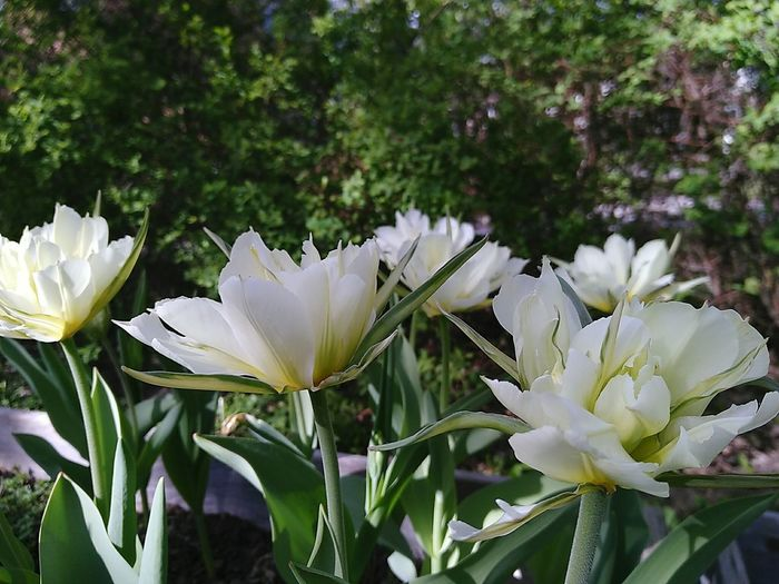 White Flower Spring Flowers Tulips Tulip Blooming Tulips Blooming Flower Springtime Flower Head Flower Close-up Plant In Bloom Blossom Blooming