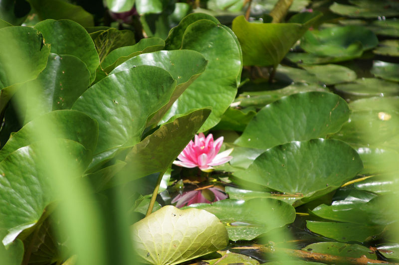 Water Lily through the Reeds Leaf Plant Part Plant Flower Growth Beauty In Nature Flowering Plant Green Color Freshness Vulnerability  Pink Color Fragility Nature Petal Day No People Water Lily Flower Head Outdoors Lotus Water Lily