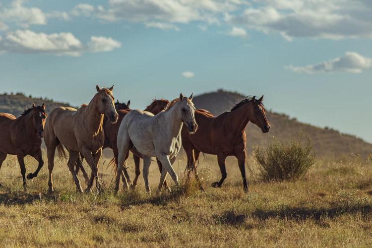 Action shot of herd of horses running in the arid landscape