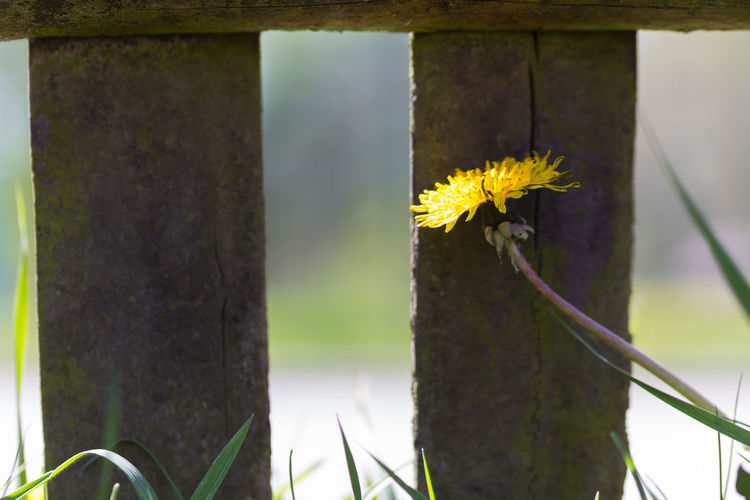 Close-up of yellow flowering plant by fence
