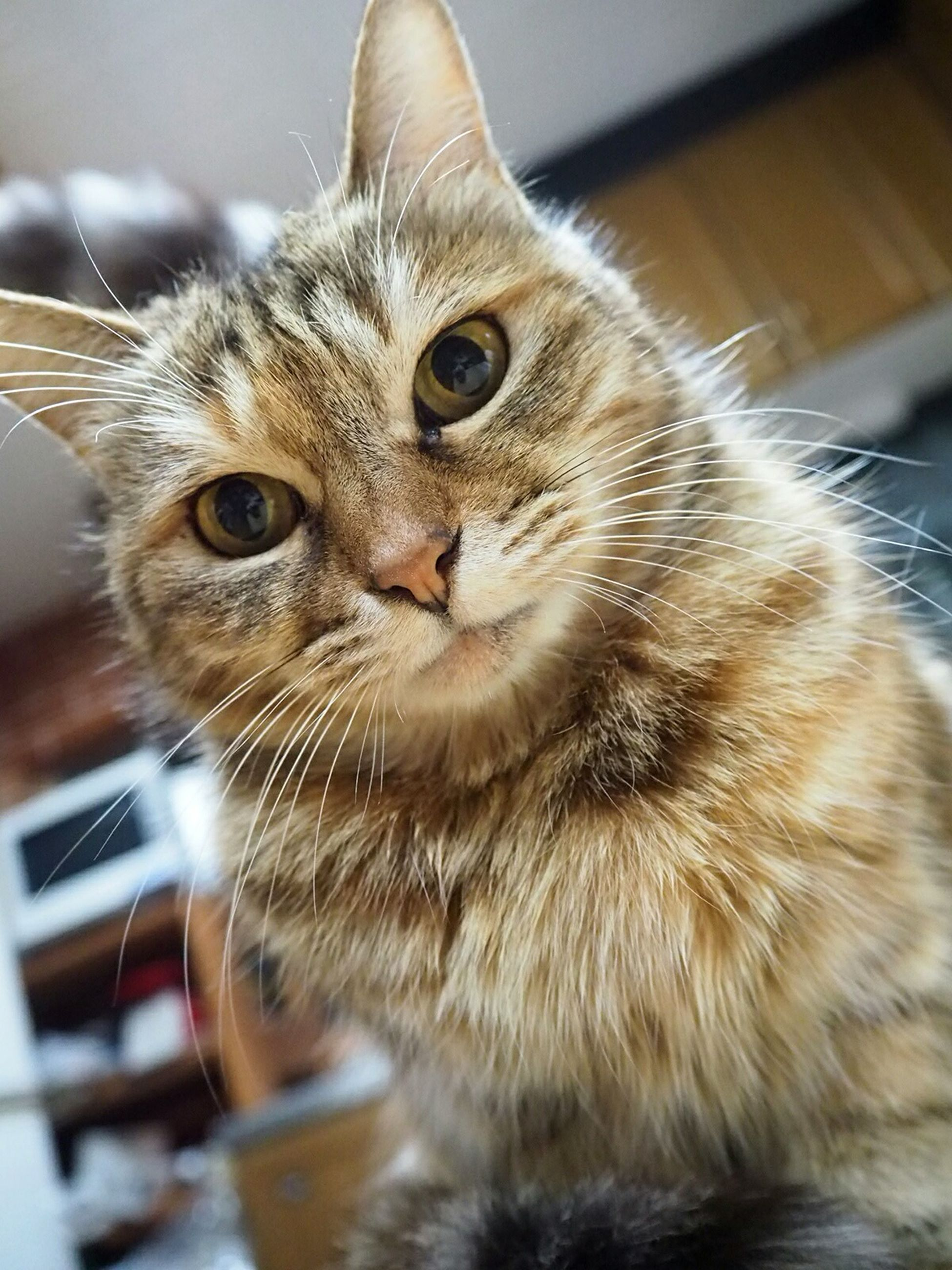 domestic cat, animal themes, cat, one animal, pets, domestic animals, whisker, indoors, feline, portrait, looking at camera, close-up, mammal, focus on foreground, alertness, animal head, animal eye, selective focus, front view
