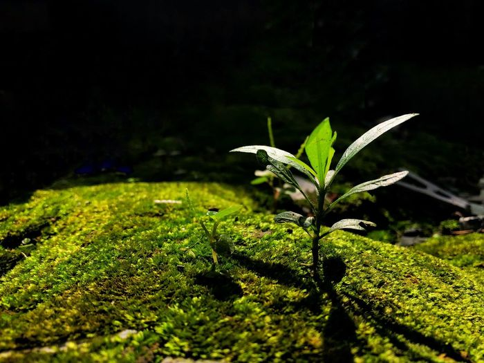 Little tree in moss field with natural sun light from its back. Moss Sunlight Green Color Growth Plant Leaf Nature Plant Part Beauty In Nature No People Close-up Night Tranquility Outdoors Field Land Freshness Focus On Foreground