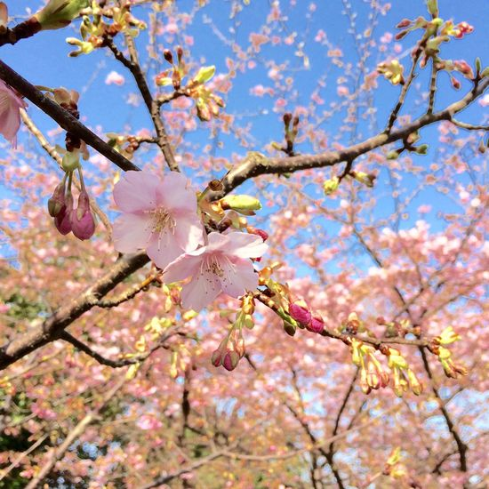 こんにちは 本日はご近所に春の訪れを感じる、快晴の日です。 なお、こちらはカワヅザクラ(バラ科)の花です。 人も集まり、鳥も沢山何かが、おります。