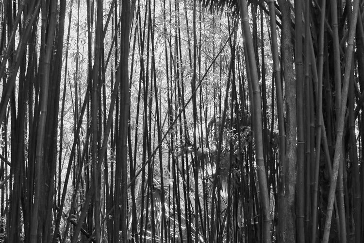Black And White Friday Nature Tree Tree Trunk Growth Tranquility Day No People Forest Beauty In Nature Full Frame Outdoors Abundance Tranquil Scene Backgrounds Scenics Bamboo - Plant Bamboo Grove Branch Sky Bamboo